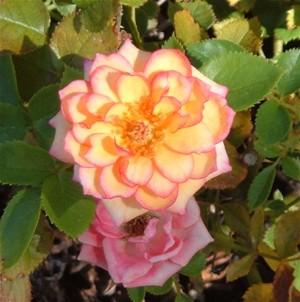 Orangerose_2