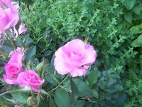 Pink_rose_feverfew